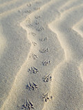 Mouse Footprints in the Sand of Dunes, Belgium Photographic Print by Philippe Clement