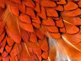 Male Pheasant Feathers, Devon, UK Reproduction photographique par Ross Hoddinott