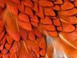 Male Pheasant Feathers, Devon, UK Print by Ross Hoddinott