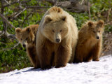 Brown Bear Mother with Cubs, Valley of the Geysers, Kronotsky Zapovednik, Russia Photographic Print by Igor Shpilenok