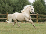 Palomino Welsh Pony Stallion Galloping in Paddock, Fort Collins, Colorado, USA Foto von Carol Walker
