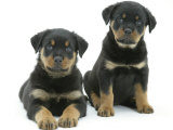 Two Rottweiler Pups, 8 Weeks Old Posters by Jane Burton