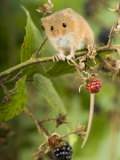 Harvest Mouse Perching on Bramble with Blackberries, UK Photographic Print by Andy Sands