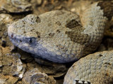 Mottled Rock Rattlesnake Close-Up of Head. Arizona, USA Photographic Print by Philippe Clement