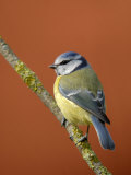 Blue Tit on Branch, Cornwall, UK Photographic Print by Ross Hoddinott