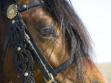 Bay Welsh Cobb Stallion, Close Up of Eye, Ojai, California, USA Photographic Print by Carol Walker