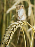Harvest Mouse Standing Up on Corn, UK Photographic Print by Andy Sands