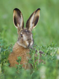 European Brown Hare Juvenile in Field, Lake Neusiedl, Austria Photographic Print by Rolf Nussbaumer
