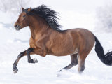 Bay Andalusian Stallion Running in the Snow, Berthoud, Colorado, USA Posters by Carol Walker