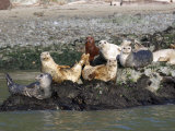 Californian Sealions Waking Up on Rocks in San Francisco Bay, California, USA Photographic Print by Sandra Cannon