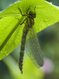 Brown Hawker Aeshna Dragonfly Newly Emerged Adult Sheltering from Rain, West Sussex, England, UK Posters by Andy Sands