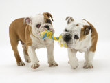 Two Bulldog Pups Carrying a Ragger Photographic Print by Jane Burton