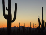 Silhouetted Saguaro Cactus at Sunset in Saguaro Np, Arizona, USA Photographic Print by Philippe Clement