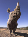 Desert Black Rhinoceros, Addo Elephant National Park, Eastern Cape, South Africa Posters by Mark Carwardine