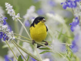 Lesser Goldfinch Black-Backed Male on Mealy Sage Hill Country, Texas, USA Posters by Rolf Nussbaumer