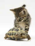 Silver Tabby Kitten Looking at a Hermann&#39;s Tortoise Walking Posters par Jane Burton