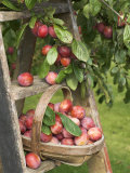 Victoria Plums Freshly Picked in a Trug in a Country Garden, England, UK Photographic Print by Gary Smith