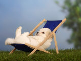 Coton De Tulear Puppy, 6 Weeks, Lying in a Deckchair Photographic Print by Petra Wegner
