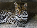 Ocelot Portrait, Resting in the Shade of a Cave. Arizona, USA Photographic Print by Philippe Clement