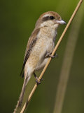 Brown Shrike Bandhavgarh Np, Madhya Pradesh, India, March Photographic Print by Tony Heald