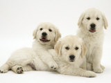 Three Golden Retriever Pups Posters by Jane Burton
