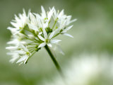 Ramson Wild Garlic Flower, Coombe Valley, Cornwall, UK Photographic Print by Ross Hoddinott