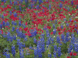 Texas Bluebonnet and Drummond's Phlox Flowering in Meadow, Gonzales County, Texas, Usa, March 2007 Photo by Rolf Nussbaumer