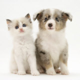 Birman-Cross Kitten Sitting with Blue Merle Shetland Sheepdog Pup Photographic Print by Jane Burton