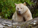 Kermode Spirit Bear, White Morph of Black Bear, Princess Royal Island, British Columbia, Canada Photographic Print by Eric Baccega