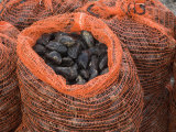 Common Mussels Freshly Harvested in Sacks, North Norfolk, England, UK Photo by Gary Smith