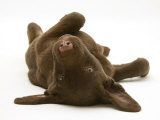 Chesapeake Bay Retriever Dog Pup, Teague, 9 Weeks Old, Rolling on the Ground Posters par Jane Burton