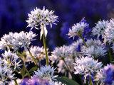 Wild Garlic Ramsons Among Bluebells, Lanhydrock Woodland, Cornwall, UK Photographic Print by Ross Hoddinott