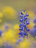 Texas Bluebonnet in Field of Wildflowers, Gonzales County, Texas Posters by Rolf Nussbaumer