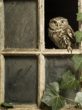 Little Owl in Window of Derelict Building, UK, January Posters by Andy Sands