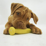 Dogue De Bordeaux Puppy Chewing on Toy, 15 Weeks Photographic Print by Jane Burton