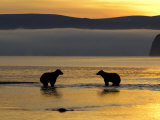 Brown Bears in Water at Sunrise, Kronotsky Nature Reserve, Kamchatka, Far East Russia Photographic Print by Igor Shpilenok