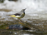 Grey Wagtail Female on Rock in Fast Flowing Upland Stream, Upper Teesdale, Co Durham, England, UK Photographic Print by Andy Sands