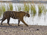 Bengal Tiger Walking by Lake, Ranthambhore Np, Rajasthan, India Posters by T.j. Rich