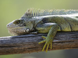 Common Green Iguana Chaparri Ecological Reserve, Peru, South America Posters by Eric Baccega