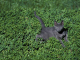 Russian Blue Cat Lying on Plants in a Garden, Italy Posters by Adriano Bacchella