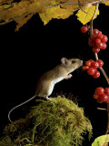 Wood Mouse Investigating Black Bryony Berries, UK Photographic Print by Andy Sands