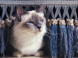 Birman Cat Amongst Tassles under Furniture Photographic Print by Adriano Bacchella