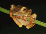 Harlequin Tree Frog on Stem of Rainforest Plant, Danum Valley, Sabah, Borneo Photographic Print by Tony Heald