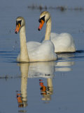 Two Mute Swans, Hornborgasjon Lake, Sweden Photographic Print by Inaki Relanzon