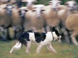Sheepdog Rounding Up Domestic Sheep Bergueda, Spain, August 2004 Photographic Print by Inaki Relanzon