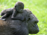 Western Lowland Gorilla Mother Carrying Baby on Her Back. Captive, France Photographic Print by Eric Baccega