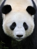 Head Portrait of a Giant Panda Bifengxia Giant Panda Breeding and Conservation Center, China Photographic Print by Eric Baccega
