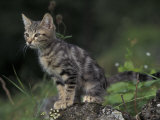 European Brown Tabby Kitten, Sitting on Rock in Garden, Italy Photographic Print by Adriano Bacchella