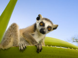 Ring-Tailed Lemur Looking Down from Large Spiney Plant, Itampolo, South Madagascar Photographic Print by Inaki Relanzon
