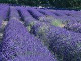 Field of Lavander Flowers Ready for Harvest, Sault, Provence, France, June 2004 Posters by Inaki Relanzon